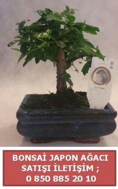 Japon ağacı minyaür bonsai satışı  Erzurum uluslararası çiçek gönderme
