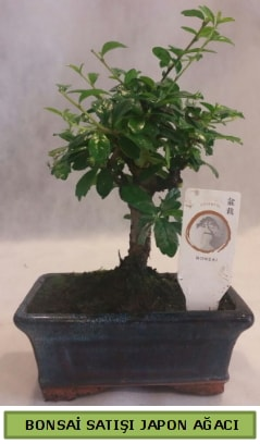 Minyatür bonsai ağacı satışı  Erzurum cicek , cicekci