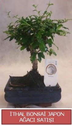 İthal küçük boy minyatür bonsai ağaç bitkisi  Erzurum cicekciler , cicek siparisi