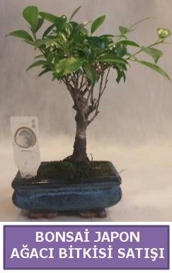 İthal Bonsai japon ağacı bitkisi satışı  Erzurum internetten çiçek siparişi