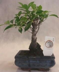 Bonsai ağacı japon ağaç bitkisi  Erzurum online çiçek gönderme sipariş