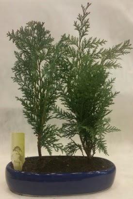 SINIRLI SAYIDA Selvi Ağacı bonsai ikili  Erzurum cicekciler , cicek siparisi