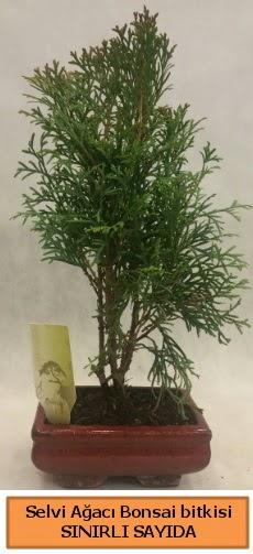 Selvi ağacı bonsai japon ağacı bitkisi  Erzurum uluslararası çiçek gönderme