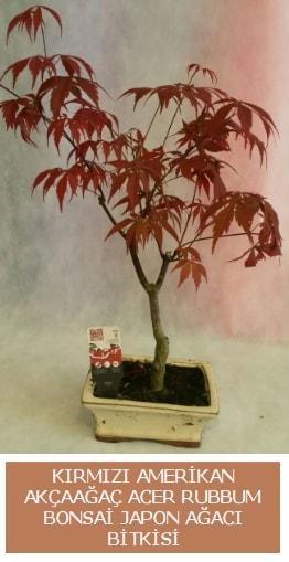 Amerikan akçaağaç Acer Rubrum bonsai  Erzurum çiçek gönderme sitemiz güvenlidir