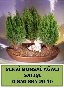 BONSAİ 3 LÜ SERVİ BONSAİ AĞACI  Erzurum cicekciler , cicek siparisi