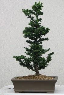 Çam ağacı bonsai bitkisi satışı  Erzurum cicekciler , cicek siparisi