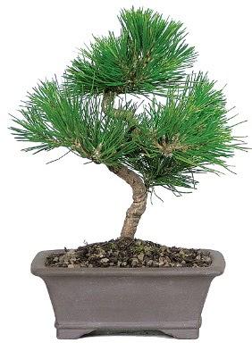 Çam ağacı bonsai japon ağacı bitkisi  Erzurum cicek , cicekci