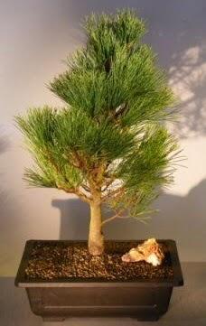 Çam ağacı japon ağacı bitkisi bonsai  Erzurum cicekciler , cicek siparisi