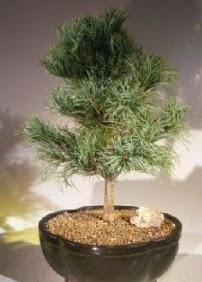 Çam ağacı bonsai bitkisi satışı  Erzurum anneler günü çiçek yolla