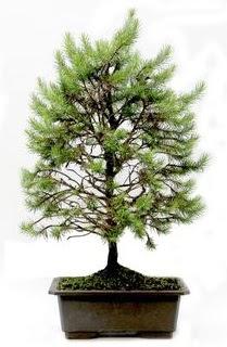 *** STOKTA YOK - Çam ağacı bonsai bitkisi satışı  Erzurum İnternetten çiçek siparişi
