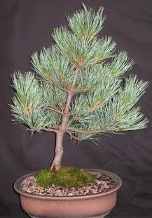 Bonsai çam ağacı japon ağacı bitkisi  Erzurum çiçek servisi , çiçekçi adresleri