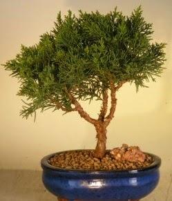 Servi çam bonsai japon ağacı bitkisi  Erzurum online çiçek gönderme sipariş