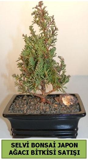 Selvi çam japon ağacı bitkisi bonsai  Erzurum cicekciler , cicek siparisi