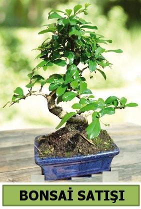 Çam bonsai japon ağacı satışı  Erzurum uluslararası çiçek gönderme
