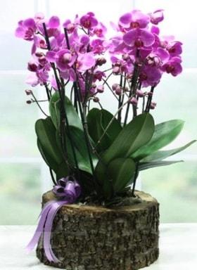 Kütük içerisinde 6 dallı mor orkide  Erzurum anneler günü çiçek yolla
