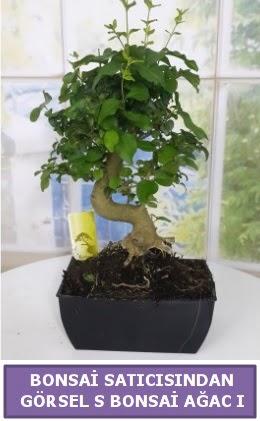 S dal eğriliği bonsai japon ağacı  Erzurum uluslararası çiçek gönderme