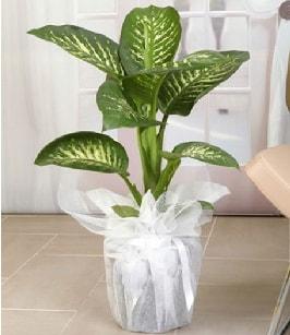 Tropik saksı çiçeği bitkisi  Erzurum uluslararası çiçek gönderme