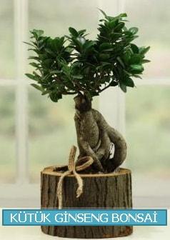 Kütük ağaç içerisinde ginseng bonsai  Erzurum çiçek siparişi vermek