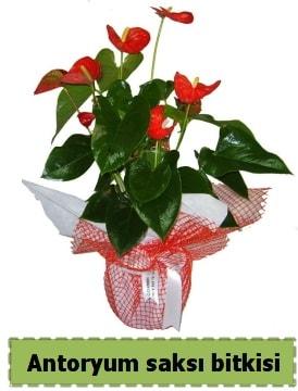 Antoryum saksı bitkisi satışı  Erzurum 14 şubat sevgililer günü çiçek