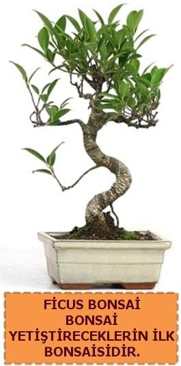Ficus bonsai 15 ile 25 cm arasındadır  Erzurum online çiçek gönderme sipariş