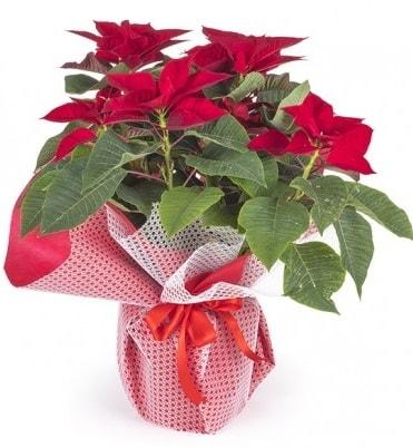 Atatürk çiçeği saksı bitkisi  Erzurum çiçek siparişi vermek