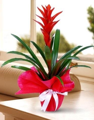 Guzmanya Saksı Çiçeği  Erzurum online çiçek gönderme sipariş