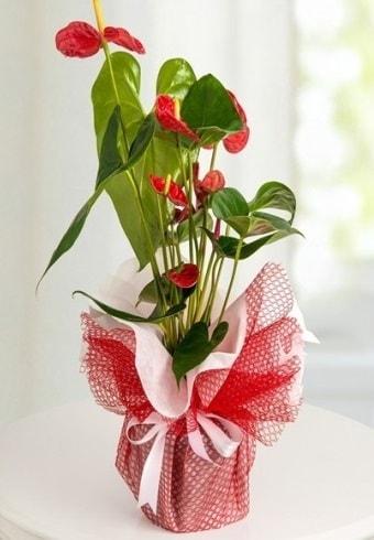 Anthurium Saksı Çiçeği  Erzurum hediye sevgilime hediye çiçek