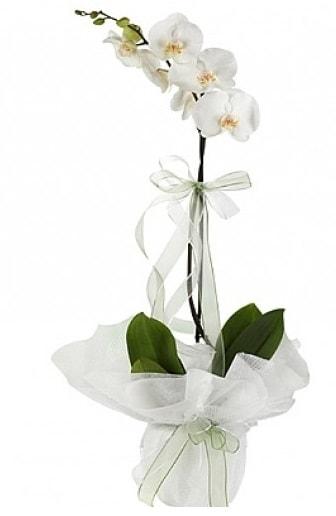 Tekli Beyaz Orkide  Erzurum hediye sevgilime hediye çiçek
