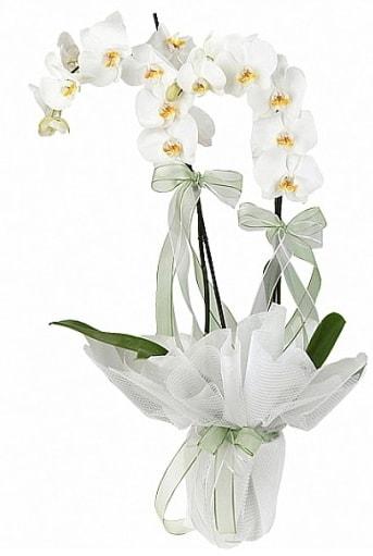Çift Dallı Beyaz Orkide  Erzurum çiçek gönderme