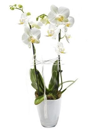 2 dallı beyaz seramik beyaz orkide saksısı  Erzurum çiçek siparişi vermek