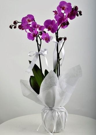 Çift dallı saksıda mor orkide çiçeği  Erzurum yurtiçi ve yurtdışı çiçek siparişi