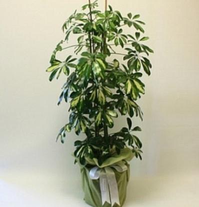 Şeflera salon bitkisi  Erzurum cicek , cicekci