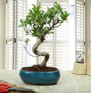 Amazing Bonsai Ficus S İthal  Erzurum güvenli kaliteli hızlı çiçek