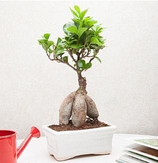 Exotic Ficus Bonsai ginseng  Erzurum çiçek , çiçekçi , çiçekçilik