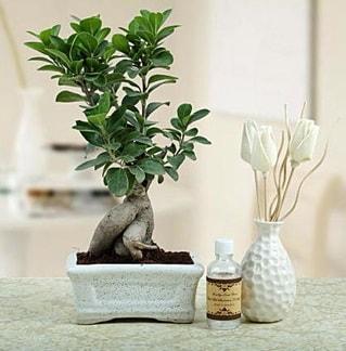 Ginseng ficus bonsai  Erzurum kaliteli taze ve ucuz çiçekler