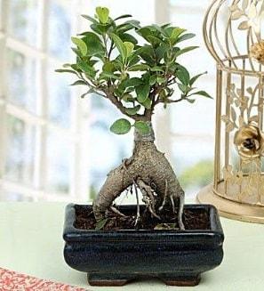 Appealing Ficus Ginseng Bonsai  Erzurum çiçek gönderme