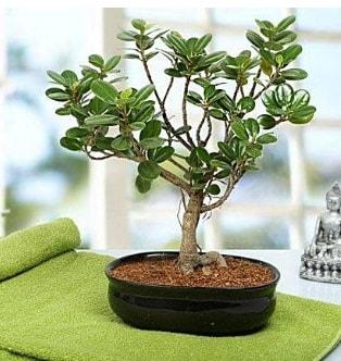 Lovely Ficus Iceland Bonsai  Erzurum çiçek gönderme