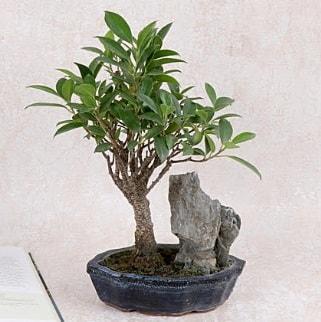 Japon ağacı Evergreen Ficus Bonsai  Erzurum çiçek siparişi vermek