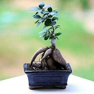 Marvellous Ficus Microcarpa ginseng bonsai  Erzurum yurtiçi ve yurtdışı çiçek siparişi