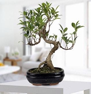 Gorgeous Ficus S shaped japon bonsai  Erzurum çiçek siparişi sitesi