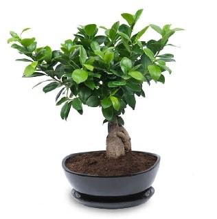Ginseng bonsai ağacı özel ithal ürün  Erzurum çiçek mağazası , çiçekçi adresleri