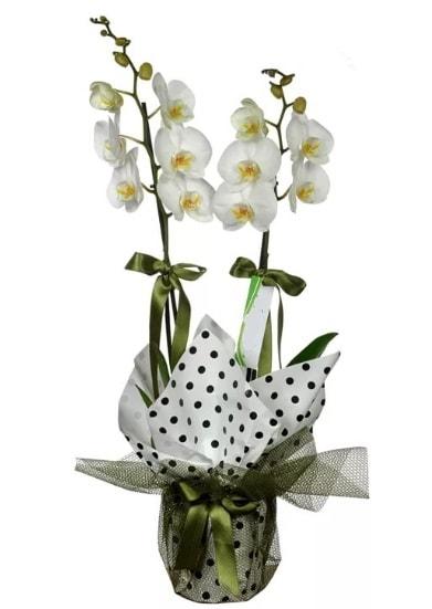 Çift Dallı Beyaz Orkide  Erzurum çiçek yolla