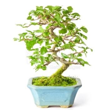 S zerkova bonsai kısa süreliğine  Erzurum internetten çiçek siparişi