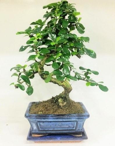 S Bonsai japon ağacı bitkisi  Erzurum çiçek gönderme sitemiz güvenlidir