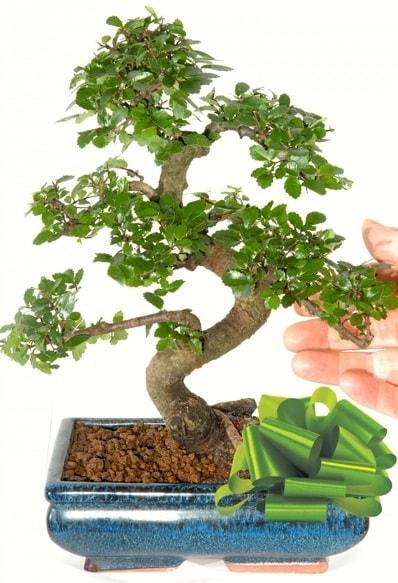 Yaklaşık 25 cm boyutlarında S bonsai  Erzurum çiçek servisi , çiçekçi adresleri