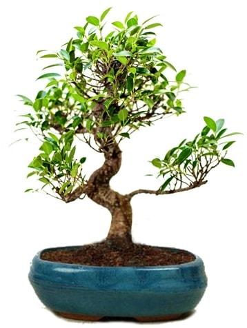 25 cm ile 30 cm aralığında Ficus S bonsai  Erzurum çiçek siparişi vermek