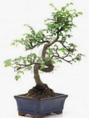 S gövde bonsai minyatür ağaç japon ağacı  Erzurum uluslararası çiçek gönderme