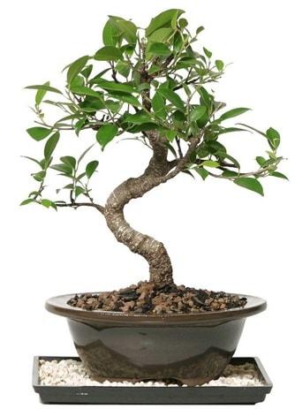 Altın kalite Ficus S bonsai  Erzurum cicekciler , cicek siparisi  Süper Kalite