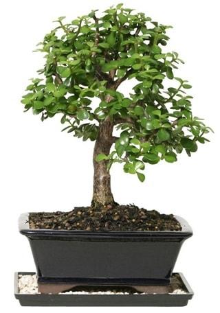 15 cm civarı Zerkova bonsai bitkisi  Erzurum çiçek servisi , çiçekçi adresleri