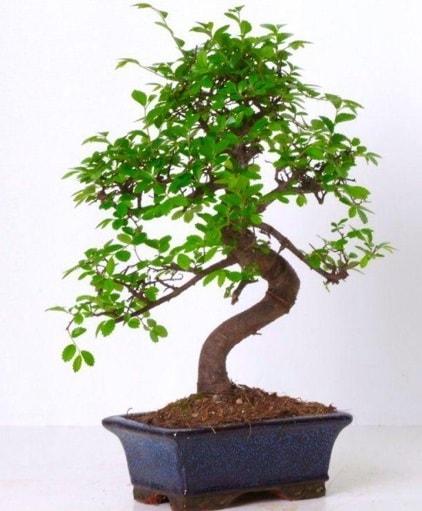 S gövdeli bonsai minyatür ağaç japon ağacı  Erzurum çiçek siparişi vermek